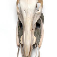 Joanna Rajkowska<br />Mask with Wild Boar's Skull and Roe Deer's Ribs<br />2019<br />Papier-mâché, wild boar's skull, roe deer's ribs, animal fur, wire, acrylic paint, beeswax<br />47 x 15.5 x 21.5 cm (approx.)